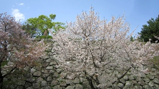 IMG_2793-桜.jpg
